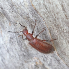 Lagriini sp. (tribe) (Unidentified lagriine darkling beetle) at O'Connor, ACT - 12 Mar 2021 by ConBoekel
