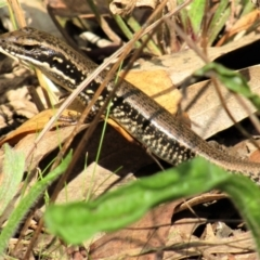 Eulamprus heatwolei (Yellow-bellied Water-skink) at Namadgi National Park - 13 Mar 2021 by Sarah2019