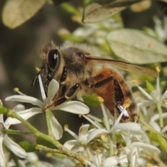 Apis mellifera (European honey bee) at Conder, ACT - 11 Jan 2021 by michaelb