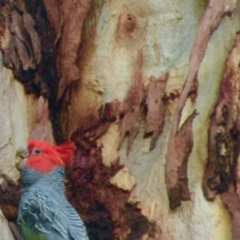 Callocephalon fimbriatum (Gang-gang Cockatoo) at Campbell, ACT - 6 Jan 2021 by Campbell2612