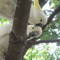 Cacatua galerita (Sulphur-crested Cockatoo) at Campbell, ACT - 3 Feb 2021 by Campbell2612