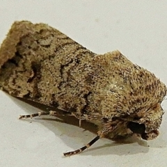 Proteuxoa capularis (Half-moon Noctuid) at Crooked Corner, NSW - 13 Mar 2021 by Milly