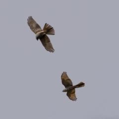 Accipiter cirrocephalus (Collared Sparrowhawk) at Stony Creek - 13 Mar 2021 by trevsci