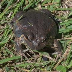 Limnodynastes dumerilii (Eastern Banjo Frog) at Googong, NSW - 21 Feb 2021 by WHall