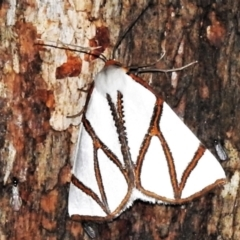 Thalaina clara (Clara's Satin Moth) at Tidbinbilla Nature Reserve - 12 Mar 2021 by JohnBundock
