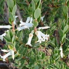 Brachyloma daphnoides (Daphne Heath) at Cook, ACT - 1 Nov 2020 by drakes