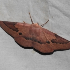 Monoctenia falernaria (Patched Leaf Moth) at Paddys River, ACT - 12 Mar 2021 by JohnBundock