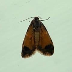 Halone sinuata (Rock Lichen Moth) at Aranda, ACT - 14 Mar 2021 by KMcCue
