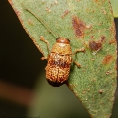 Aporocera (Aporocera) melanocephala (TBC) at Umbagong District Park - 12 Mar 2021 by Roger