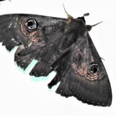 Dasypodia selenophora (Southern old lady moth) at Tidbinbilla Nature Reserve - 12 Mar 2021 by JohnBundock