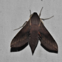 Hippotion scrofa (Coprosma Hawk Moth) at Paddys River, ACT - 12 Mar 2021 by JohnBundock