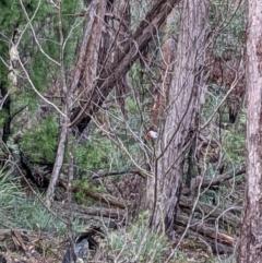 Petroica boodang (Scarlet Robin) at Currawang, NSW - 13 Mar 2021 by camcols