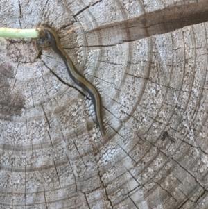 Caenoplana bicolor at Thurgoona, NSW - 14 Mar 2021