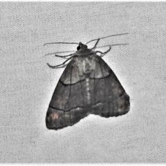 Stibaroma melanotoxa (Grey-caped Line-moth) at Paddys River, ACT - 12 Mar 2021 by JohnBundock
