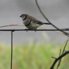 Taeniopygia bichenovii (Double-barred Finch) at Murrumbateman, NSW - 11 Mar 2021 by SimoneC