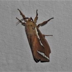 Abantiades latipennis (Brown Ghost Moth, Pindi Moth) at Paddys River, ACT - 12 Mar 2021 by JohnBundock