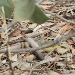 Acanthiza chrysorrhoa (Yellow-rumped Thornbill) at Murrumbateman, NSW - 12 Mar 2021 by SimoneC