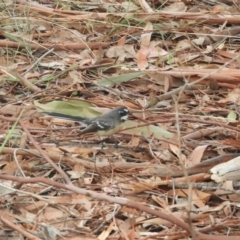 Rhipidura albiscapa (Grey Fantail) at Murrumbateman, NSW - 12 Mar 2021 by SimoneC