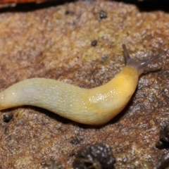 Arion intermedius (Hedgehog Slug) at ANBG - 14 Mar 2021 by TimL