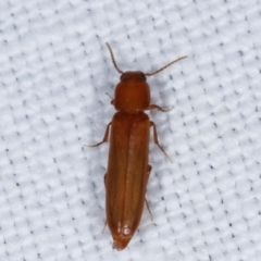 Unidentified Beetle (Coleoptera) (TBC) at Tidbinbilla Nature Reserve - 12 Mar 2021 by kasiaaus