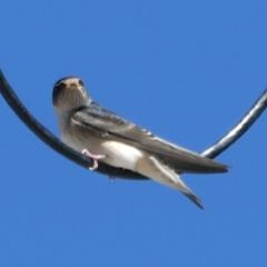 Petrochelidon nigricans at Wandiyali-Environa Conservation Area - 15 Mar 2021