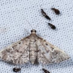 Metasia sp. (genus) (A Crambid moth) at Tidbinbilla Nature Reserve - 12 Mar 2021 by kasiaaus