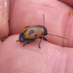Cadmus (Cadmus) litigiosus (Leaf beetle) at Farrer Ridge - 12 Mar 2021 by Greggy