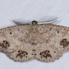 Casbia celidosema (A Geometer moth) at Tidbinbilla Nature Reserve - 12 Mar 2021 by kasiaaus