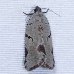 Meritastis pyrosemana (A Tortricid moth) at Tidbinbilla Nature Reserve - 12 Mar 2021 by kasiaaus