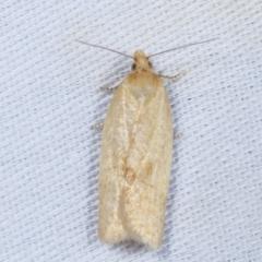 Merophyas divulsana (Lucerne Leafroller) at Tidbinbilla Nature Reserve - 12 Mar 2021 by kasiaaus