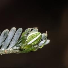 Araneus ginninderranus (Dondale's Orb-weaver) at Holt, ACT - 15 Mar 2021 by Roger