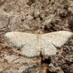 Idaea philocosma (Flecked Wave) at ANBG - 14 Mar 2021 by Roger