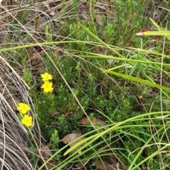 Hibbertia calycina at Mount Painter - 8 Mar 2021