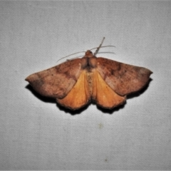 Mnesampela privata (Autumn Gum Moth) at Paddys River, ACT - 12 Mar 2021 by JohnBundock