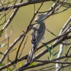 Pachycephala rufiventris (Rufous Whistler) at Stromlo, ACT - 13 Mar 2021 by trevsci