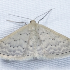 Idaea philocosma (Flecked Wave) at Tidbinbilla Nature Reserve - 12 Mar 2021 by kasiaaus
