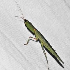 Orthodera ministralis (Garden mantis) at Paddys River, ACT - 12 Mar 2021 by JohnBundock