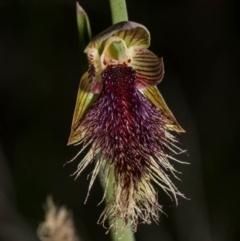 Calochilus platychilus (Purple beard orchid) at Royalla, NSW - 15 Oct 2020 by dan.clark