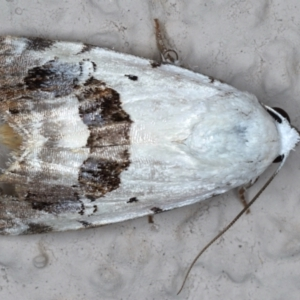 Armactica conchidia at Ainslie, ACT - 13 Mar 2021