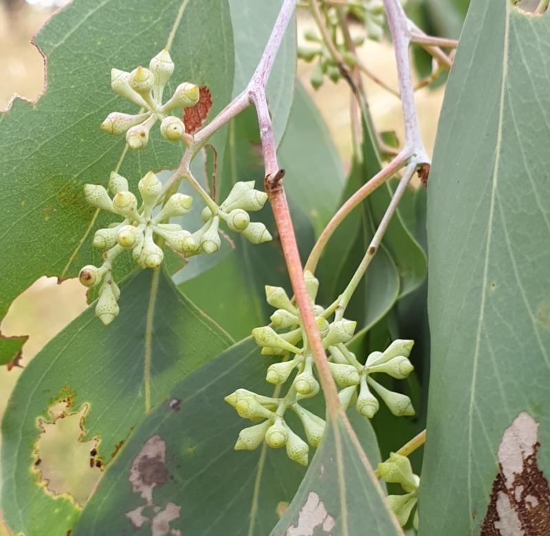 Eucalyptus polyanthemos at Cook, ACT - 8 Mar 2021
