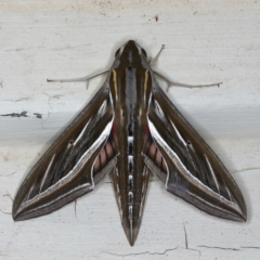 Hippotion celerio (Vine Hawk Moth) at Ainslie, ACT - 15 Mar 2021 by jbromilow50