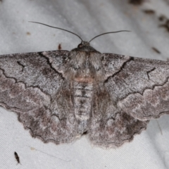 Hypobapta (genus) (A Geometer moth) at Tidbinbilla Nature Reserve - 12 Mar 2021 by kasiaaus