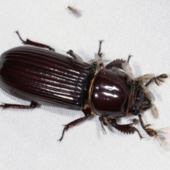 Aulacocyclus edentulus (Passalid beetle) at Tidbinbilla Nature Reserve - 12 Mar 2021 by kasiaaus