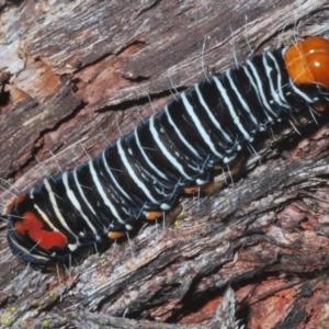 Comocrus behri (Mistletoe Moth) at Guerilla Bay, NSW by Harrisi