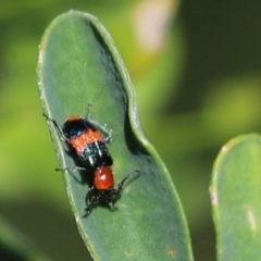 Dicranolaius bellulus (Red and Blue Pollen Beetle) at Kaleen, ACT - 15 Mar 2021 by Tammy