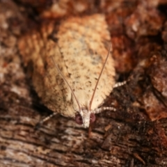 Anisogona similana (A tortrix moth) at Tidbinbilla Nature Reserve - 12 Mar 2021 by kasiaaus