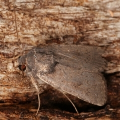 Proteuxoa (genus) (A Noctuid Moth) at Tidbinbilla Nature Reserve - 12 Mar 2021 by kasiaaus