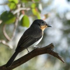 Myiagra rubecula (Leaden Flycatcher) at Wandiyali-Environa Conservation Area - 10 Mar 2021 by Wandiyali