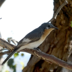 Myiagra rubecula at Wandiyali-Environa Conservation Area - 10 Mar 2021