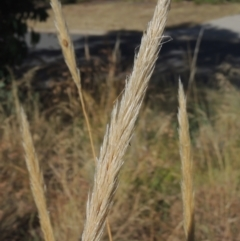 Austrostipa densiflora (Foxtail Speargrass) at Conder, ACT - 20 Jan 2021 by michaelb